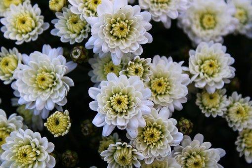 Chrysanthemums, Chrysanthemum, Bloom, Flower, Blossom