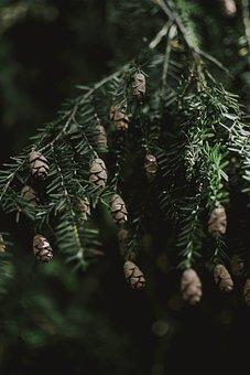 Spruce, Cones, Branches, Conifer, Coniferous, Needles
