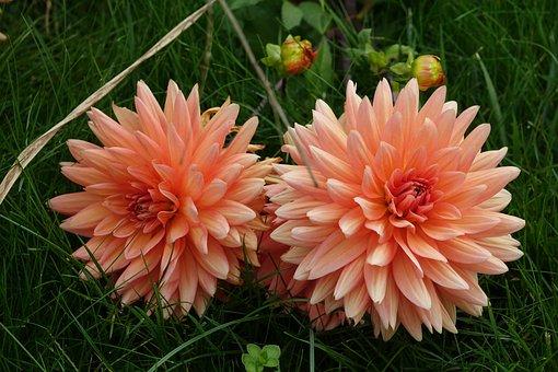 Dahlia, Garden, Flowering July Through To The Winter