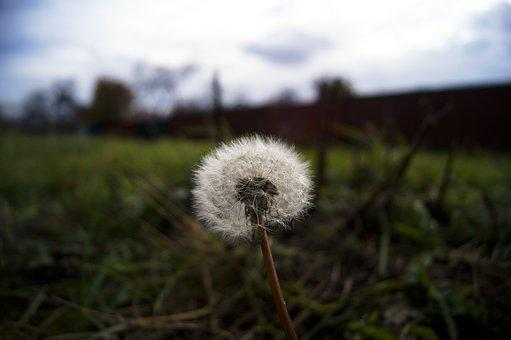 Dandelion, Autumn, Grass, Greens, Flower, Nature, Seeds