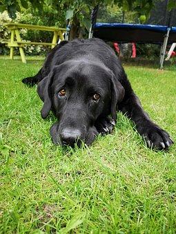 Dog, Animal, Black, Labrador, Pet, Cute, Purebred Dog