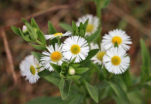 Erigeron Annuus, Meadow Flower, Blooming, Colorful