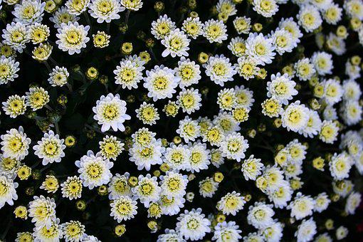 Chrysanthemums, Chrysanthemum, Bloom, Flower, Blossom