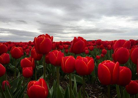 Tulips, Flowers, Red, Mt Vernon, Washington