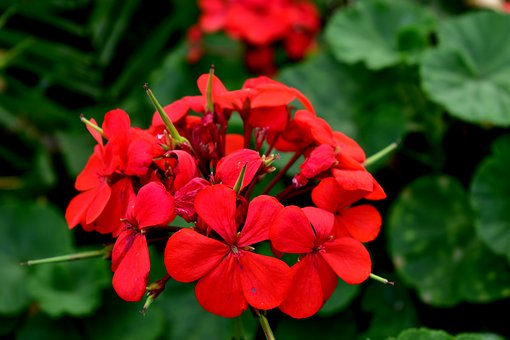 Geranium, Flower, Garden, Red, Plant, Flowers, Summer