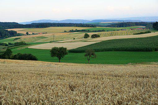 Grain, Field, Bread, Summer, Hegau, Germany