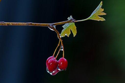 Weissdorn, Fruit, Wet, Hawthorn Berries, Rainy Weather