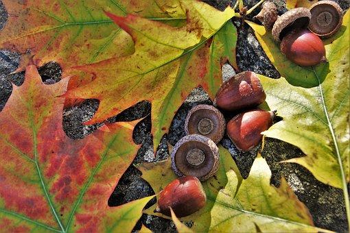 Oak, Foliage, In The Fall, Autumn, Acorns, Branches
