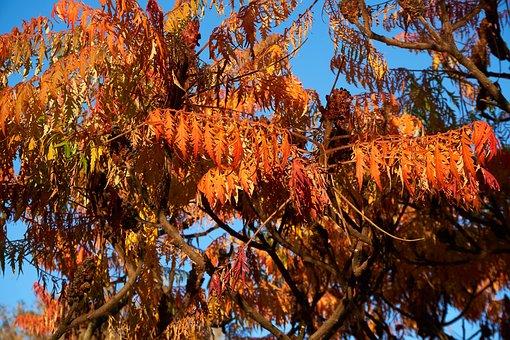 Rispiger Bubbles Tree, Koelreuteria Paniculata, Autumn