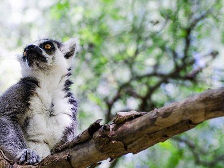 Nature, Madagascar, Animals, Zoo, Lemur, Mammals