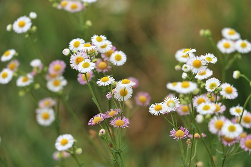 Erigeron Annuus, Meadow Flower, Blooming, Colorful