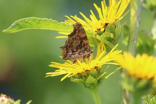 Butterfly, Elecampane, Inula Helenium, Medicinal Plant