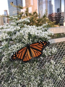 New York, Butterfly, Monarch, The High Line Park