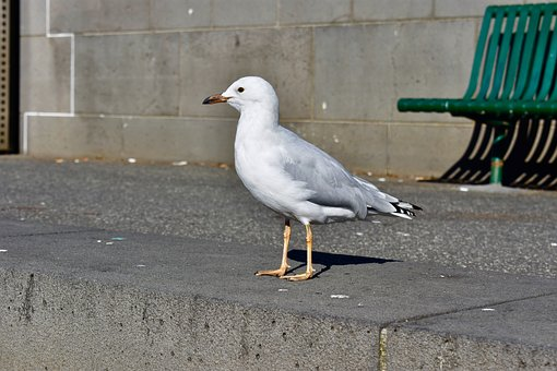 Seagull, Pigeon, Bird, Animal, Nature, Fly, Wildlife