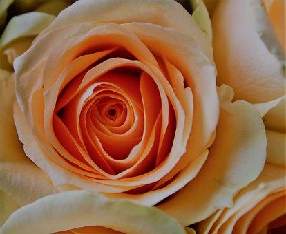 Rose, Pale, Orange, Pastel, The Roses Bloom, Bloom