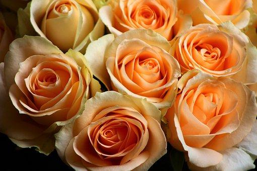 Rose, Pale, Orange, Pastel, Roses, Bloom, Flower