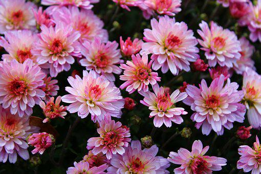 Pink Chrysanthemums, Chrysanthemum, Bloom, Flower