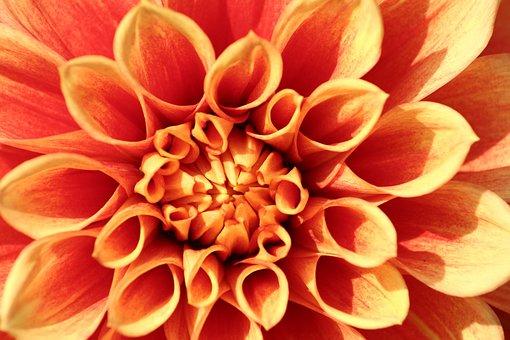 Orange, Raghavendra, Flowers, Plant, Nature, Petals