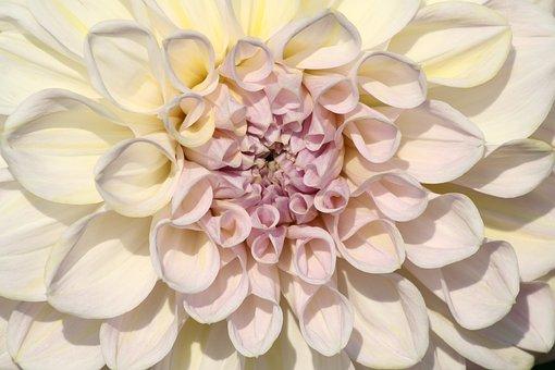 White, Raghavendra, Flowers, Plant, Nature, Petals