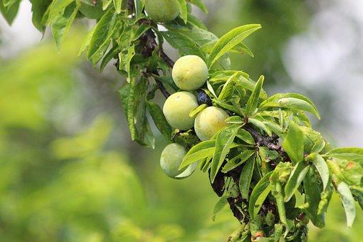 Plum, Branch, Fruit, Nature, Sheet, Food, Outdoors