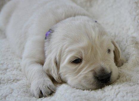 Puppy, Golden Retriever Puppy, Puppy Female Violet