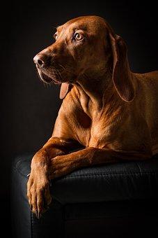 Animal, Dog, Pet, Portrait, Brown, Cute, Purebred Dog