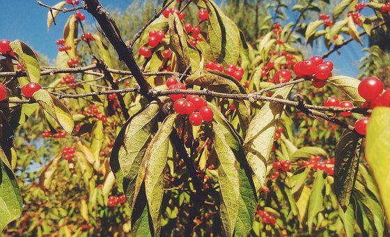 Red Fruits, Autumn, Early Autumn, Fruit, Red