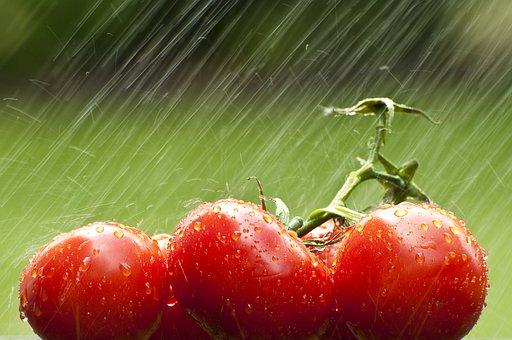 Tomato, Vegetable, Food, Fresh, Rain, Ripe