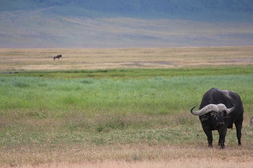 Buffalo, Safari, Africa, Nature, National Park