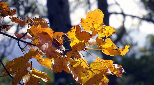 Autumn, Leaves, Colorful, Season, Yellow, Ocher, Plant