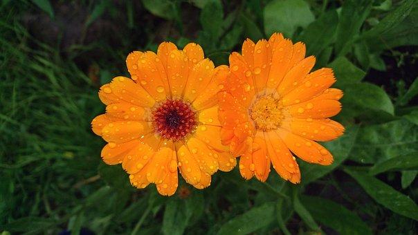 Calendula, Flower, Marigold, Calendula Officinalis, Two