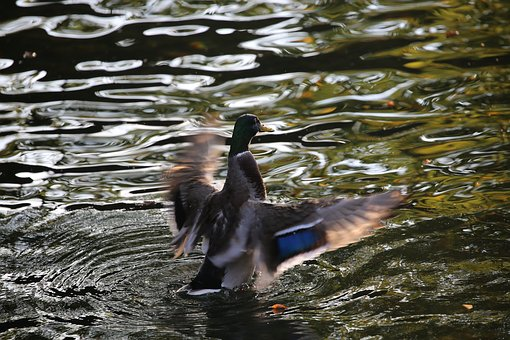 Duck, Drake, Bird, Water, Autumn, Water Bird, Nature