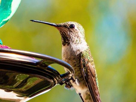 Hummingbird, Nature, Backyard, Bird, Wildlife, Animal