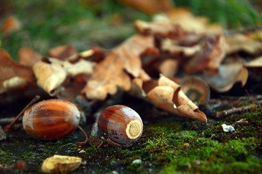 Acorns, Fruits, Oak Fruit, Oak Leaves, Leaves, Autumn