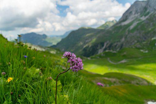 Lech, Lech Valley, Alpine, Alpine Flower, Mountain