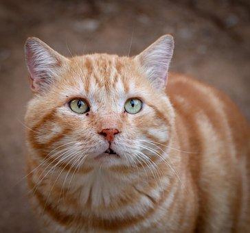 Cat, Animal, Domestic Cat, View, Close Up, Portrait