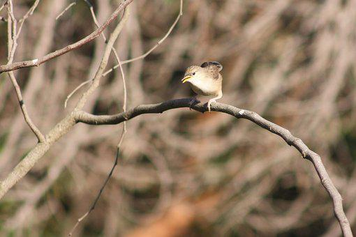 Graceful Prinia, Birds, Animals, Nature