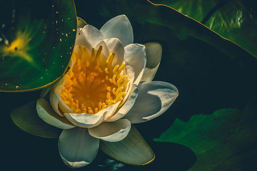 Water Lily, Aquatic Plant, Blossom, Bloom, White