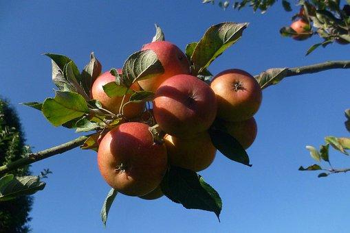 Apple, Fruit, Autumn, Garden, Harvest, Vitamins