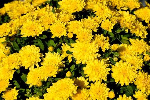 Vibrant Color, Mum Flower, Floral, Botany, Bloom