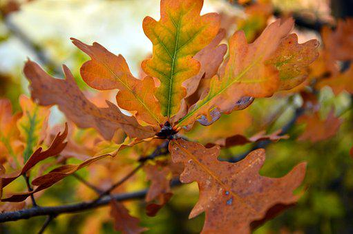 Leaves, Oak Leaves, Branch, Autumn, Fall Foliage