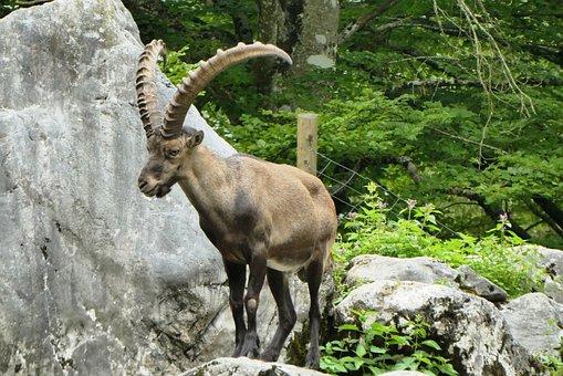 Capricorn, Wildlife Park, Tierpark Berlin-grünau