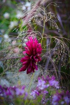 Dahlia, Beauty, Autumn, Blossom, Bloom, Close Up