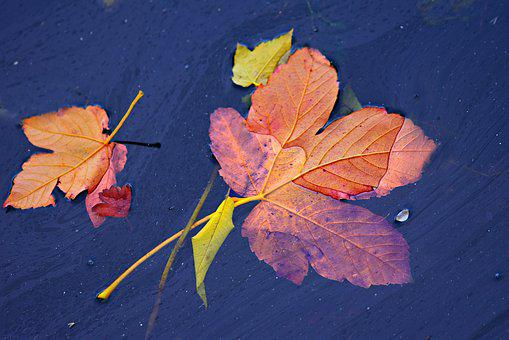 Autumn Leaf, Floating, Water, Fall Leaves, Colorful
