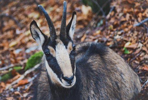 Chamois, Forest, Fauna, Herbivore, Mammals, Neuchâtel