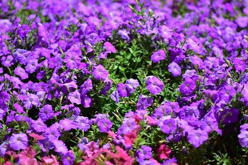 Floral, Purple Flowers, Dubai, Miracle Garden