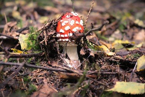 Mushroom, Fly Agaric, Autumn, Forest, Nature
