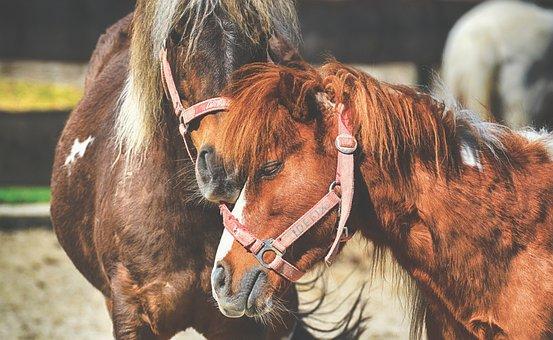 Pony, Horses, Pair, Smooch, Play, Funny, Animal
