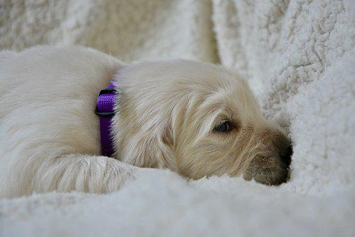 Golden Retriever Puppy, Pup, Puppy Of Three Weeks