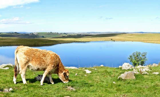 Aubrac, Lake, Andeol, Cow, Salers, Nature, Green, Wild